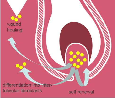 dr levy switzerland intense stem cell cosmeceuticals illustration of regeneration of fibroblasts